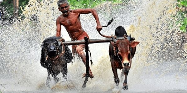 Bull Surfing Facts About India